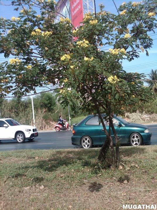 ต้นทรงบาลดาล