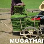 เตรียมขายหญ้านวลน้อย